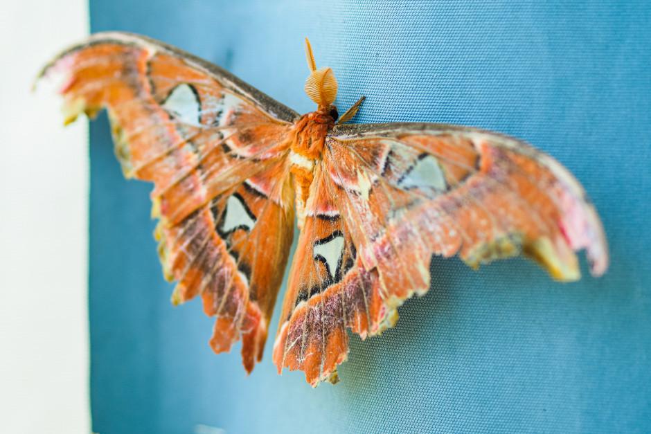 una falena gigante alla casa delle farfalle