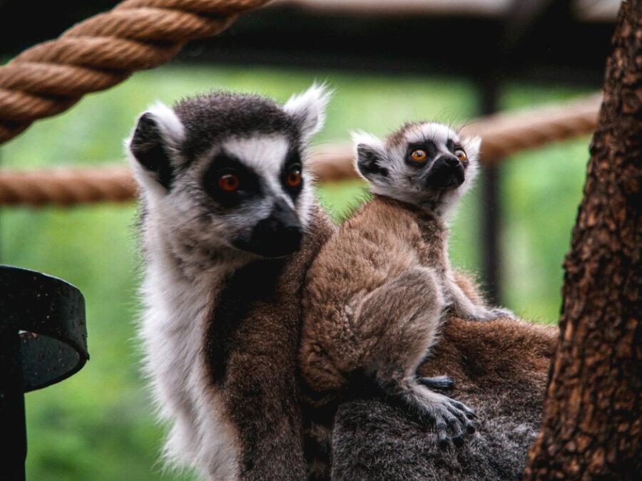 lemuri parco natura viva verona
