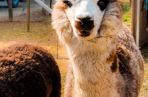 a&a alpaca