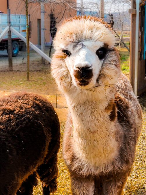 A&A Alpaca: trekking con gli alpaca a Vicenza