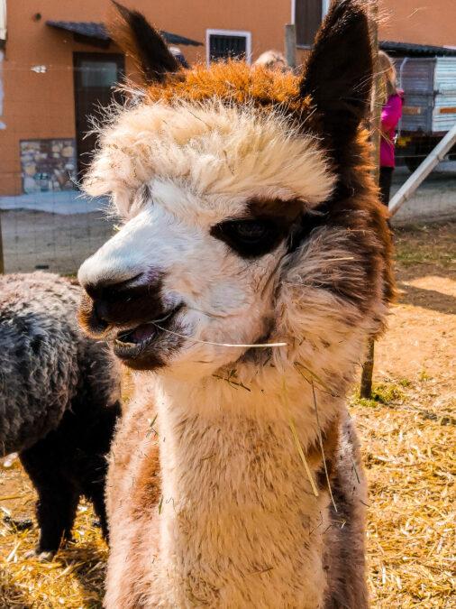 allevamento alpaca in veneto