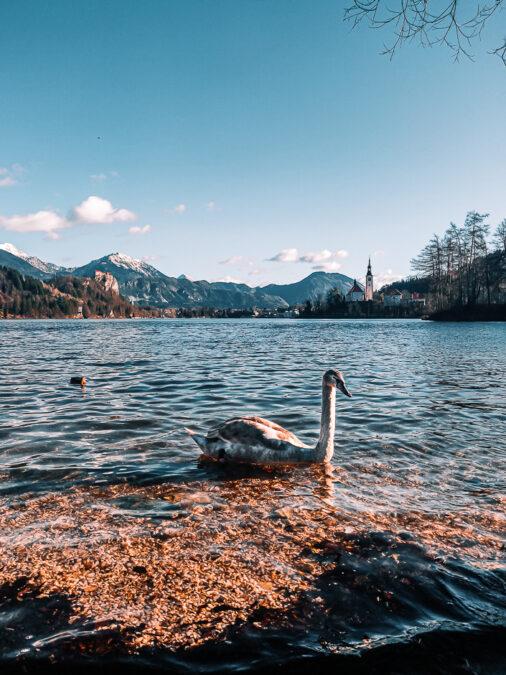 cigni al lago di bled slovenia